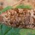Spygliaėdis archipsas - Archips oporana ♀ | Fotografijos autorius : Žilvinas Pūtys | © Macrogamta.lt | Šis tinklapis priklauso bendruomenei kuri domisi makro fotografija ir fotografuoja gyvąjį makro pasaulį.