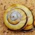 Sraigė - Caucasotachea calligera   Fotografijos autorius : Deividas Makavičius   © Macrogamta.lt   Šis tinklapis priklauso bendruomenei kuri domisi makro fotografija ir fotografuoja gyvąjį makro pasaulį.