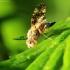 Margasparnė - Oxyna flavipennis | Fotografijos autorius : Ramunė Vakarė | © Macrogamta.lt | Šis tinklapis priklauso bendruomenei kuri domisi makro fotografija ir fotografuoja gyvąjį makro pasaulį.