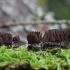 Rudasis šerpis - Stemonitis fusca  | Fotografijos autorius : Vytautas Gluoksnis | © Macrogamta.lt | Šis tinklapis priklauso bendruomenei kuri domisi makro fotografija ir fotografuoja gyvąjį makro pasaulį.