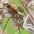Storakraštis vikrūnas - Philodromus cespitum | Fotografijos autorius : Gintautas Steiblys | © Macrogamta.lt | Šis tinklapis priklauso bendruomenei kuri domisi makro fotografija ir fotografuoja gyvąjį makro pasaulį.