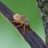 Straubliukas - Ellescus scanicus | Fotografijos autorius : Romas Ferenca | © Macrogamta.lt | Šis tinklapis priklauso bendruomenei kuri domisi makro fotografija ir fotografuoja gyvąjį makro pasaulį.