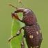 Straubliukas - Hylobius verrucipennis | Fotografijos autorius : Gintautas Steiblys | © Macrogamta.lt | Šis tinklapis priklauso bendruomenei kuri domisi makro fotografija ir fotografuoja gyvąjį makro pasaulį.