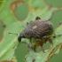 Straubliukas - Rhinoncus pericarpius | Fotografijos autorius : Vidas Brazauskas | © Macrogamta.lt | Šis tinklapis priklauso bendruomenei kuri domisi makro fotografija ir fotografuoja gyvąjį makro pasaulį.