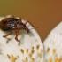 Smailiablauzdis lapinukas - Polydrusus mollis   Fotografijos autorius : Agnė Našlėnienė   © Macrogamta.lt   Šis tinklapis priklauso bendruomenei kuri domisi makro fotografija ir fotografuoja gyvąjį makro pasaulį.
