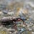 Gluosniastraublis - Dorytomus tremulae | Fotografijos autorius : Agnė Našlėnienė | © Macrogamta.lt | Šis tinklapis priklauso bendruomenei kuri domisi makro fotografija ir fotografuoja gyvąjį makro pasaulį.