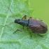 Ilgasis lapinukas - Phyllobius oblongus | Fotografijos autorius : Gintautas Steiblys | © Macrogamta.lt | Šis tinklapis priklauso bendruomenei kuri domisi makro fotografija ir fotografuoja gyvąjį makro pasaulį.