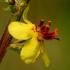 Juodoji tūbė - Verbascum nigrum  | Fotografijos autorius : Ramunė Vakarė | © Macrogamta.lt | Šis tinklapis priklauso bendruomenei kuri domisi makro fotografija ir fotografuoja gyvąjį makro pasaulį.