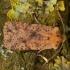 Taškuotasis vėlyvis - Conistra rubiginea | Fotografijos autorius : Žilvinas Pūtys | © Macrogamta.lt | Šis tinklapis priklauso bendruomenei kuri domisi makro fotografija ir fotografuoja gyvąjį makro pasaulį.