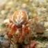Taškuotasis voriukas - Araniella displicata | Fotografijos autorius : Ramunė Vakarė | © Macrogamta.lt | Šis tinklapis priklauso bendruomenei kuri domisi makro fotografija ir fotografuoja gyvąjį makro pasaulį.