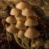 Tamprioji šalmabudė - Mycena epipterygia   Fotografijos autorius : Žilvinas Pūtys   © Macrogamta.lt   Šis tinklapis priklauso bendruomenei kuri domisi makro fotografija ir fotografuoja gyvąjį makro pasaulį.