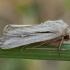 Tamsiajuostis pievinukas - Leucania comma | Fotografijos autorius : Žilvinas Pūtys | © Macrogamta.lt | Šis tinklapis priklauso bendruomenei kuri domisi makro fotografija ir fotografuoja gyvąjį makro pasaulį.