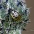 Tamsiakraštis kilpininkas | Fotografijos autorius : Darius Baužys | © Macrogamta.lt | Šis tinklapis priklauso bendruomenei kuri domisi makro fotografija ir fotografuoja gyvąjį makro pasaulį.