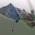 Tamsusis auksinukas - Lycaena tityrus | Fotografijos autorius : Agnė Našlėnienė | © Macrogamta.lt | Šis tinklapis priklauso bendruomenei kuri domisi makro fotografija ir fotografuoja gyvąjį makro pasaulį.