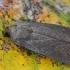 Tamsusis pelėdgalvis - Amphipyra livida | Fotografijos autorius : Gintautas Steiblys | © Macrogamta.lt | Šis tinklapis priklauso bendruomenei kuri domisi makro fotografija ir fotografuoja gyvąjį makro pasaulį.