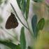 Tamsusis satyras - Aphantopus hyperanthus | Fotografijos autorius : Vidas Brazauskas | © Macrogamta.lt | Šis tinklapis priklauso bendruomenei kuri domisi makro fotografija ir fotografuoja gyvąjį makro pasaulį.