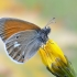 Tamsusis satyriukas - Coenonympha glycerion | Fotografijos autorius : Arūnas Eismantas | © Macrogamta.lt | Šis tinklapis priklauso bendruomenei kuri domisi makro fotografija ir fotografuoja gyvąjį makro pasaulį.