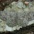 Tamsusis taškasprindis - Cyclophora pendularia | Fotografijos autorius : Žilvinas Pūtys | © Macrogamta.lt | Šis tinklapis priklauso bendruomenei kuri domisi makro fotografija ir fotografuoja gyvąjį makro pasaulį.