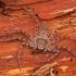 Tamsusis vikrūnas - Philodromus fuscomarginatus ♀ | Fotografijos autorius : Žilvinas Pūtys | © Macrogamta.lt | Šis tinklapis priklauso bendruomenei kuri domisi makro fotografija ir fotografuoja gyvąjį makro pasaulį.