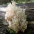 Taurinis žvakidėlis - Artomyces pyxidata | Fotografijos autorius : Vitalijus Bačianskas | © Macrogamta.lt | Šis tinklapis priklauso bendruomenei kuri domisi makro fotografija ir fotografuoja gyvąjį makro pasaulį.
