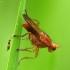 Tetanocera sp. - Sraigžudė | Fotografijos autorius : Vidas Brazauskas | © Macrogamta.lt | Šis tinklapis priklauso bendruomenei kuri domisi makro fotografija ir fotografuoja gyvąjį makro pasaulį.