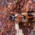 Tiesiadėmis pievažygis - Badister lacertosus | Fotografijos autorius : Žilvinas Pūtys | © Macrogamta.lt | Šis tinklapis priklauso bendruomenei kuri domisi makro fotografija ir fotografuoja gyvąjį makro pasaulį.