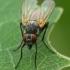 Tikramusė - Thricops semicinereus  | Fotografijos autorius : Gintautas Steiblys | © Macrogamta.lt | Šis tinklapis priklauso bendruomenei kuri domisi makro fotografija ir fotografuoja gyvąjį makro pasaulį.