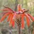Dėmėtasis alavijas - Aloe maculata | Fotografijos autorius : Gintautas Steiblys | © Macrogamta.lt | Šis tinklapis priklauso bendruomenei kuri domisi makro fotografija ir fotografuoja gyvąjį makro pasaulį.