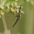 Tikrasis uodas - Ochlerotatus punctor ♂ | Fotografijos autorius : Gintautas Steiblys | © Macrogamta.lt | Šis tinklapis priklauso bendruomenei kuri domisi makro fotografija ir fotografuoja gyvąjį makro pasaulį.