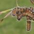 Tošinis kuoduotis – Phalera bucephala | Fotografijos autorius : Agnė Našlėnienė | © Macrogamta.lt | Šis tinklapis priklauso bendruomenei kuri domisi makro fotografija ir fotografuoja gyvąjį makro pasaulį.