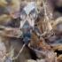 Tomsono dirvablakė - Scolopostethus thomsoni | Fotografijos autorius : Romas Ferenca | © Macrogamta.lt | Šis tinklapis priklauso bendruomenei kuri domisi makro fotografija ir fotografuoja gyvąjį makro pasaulį.