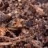 Tomsono dirvablakė - Scolopostethus thomsoni   Fotografijos autorius : Romas Ferenca   © Macrogamta.lt   Šis tinklapis priklauso bendruomenei kuri domisi makro fotografija ir fotografuoja gyvąjį makro pasaulį.