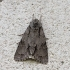 Tridantis strėlinukas - Acronicta tridens | Fotografijos autorius : Vytautas Gluoksnis | © Macrogamta.lt | Šis tinklapis priklauso bendruomenei kuri domisi makro fotografija ir fotografuoja gyvąjį makro pasaulį.