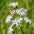 Trilapis puplaiškis - Menyanthes trifoliata | Fotografijos autorius : Kazimieras Martinaitis | © Macrogamta.lt | Šis tinklapis priklauso bendruomenei kuri domisi makro fotografija ir fotografuoja gyvąjį makro pasaulį.