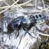 Trumpasparnis - Creophilus maxillosus | Fotografijos autorius : Romas Ferenca | © Macrogamta.lt | Šis tinklapis priklauso bendruomenei kuri domisi makro fotografija ir fotografuoja gyvąjį makro pasaulį.
