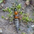 Trumpasparnis - Rabigus tenuis | Fotografijos autorius : Romas Ferenca | © Macrogamta.lt | Šis tinklapis priklauso bendruomenei kuri domisi makro fotografija ir fotografuoja gyvąjį makro pasaulį.