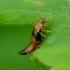 Trumpasparnis - Tachyporus obtusus   Fotografijos autorius : Romas Ferenca   © Macrogamta.lt   Šis tinklapis priklauso bendruomenei kuri domisi makro fotografija ir fotografuoja gyvąjį makro pasaulį.