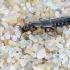 Trumpasparnis - Xantholinus longiventris | Fotografijos autorius : Gintautas Steiblys | © Macrogamta.lt | Šis tinklapis priklauso bendruomenei kuri domisi makro fotografija ir fotografuoja gyvąjį makro pasaulį.