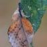 Tuopalapis verpikas - Gastropacha populifolia | Fotografijos autorius : Arūnas Eismantas | © Macrogamta.lt | Šis tinklapis priklauso bendruomenei kuri domisi makro fotografija ir fotografuoja gyvąjį makro pasaulį.