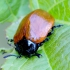 Tuopinis gluosninukas - Chrysomela populi | Fotografijos autorius : Romas Ferenca | © Macrogamta.lt | Šis tinklapis priklauso bendruomenei kuri domisi makro fotografija ir fotografuoja gyvąjį makro pasaulį.