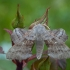 Tuopinis sfinksas - Laothoe populi | Fotografijos autorius : Žilvinas Pūtys | © Macrogamta.lt | Šis tinklapis priklauso bendruomenei kuri domisi makro fotografija ir fotografuoja gyvąjį makro pasaulį.