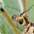 Uodas - Nephrotoma scurra | Fotografijos autorius : Darius Baužys | © Macrogamta.lt | Šis tinklapis priklauso bendruomenei kuri domisi makro fotografija ir fotografuoja gyvąjį makro pasaulį.