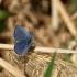 Uodegotasis melsvys (Cupido [=Everes] argiades) | Fotografijos autorius : Ramunė Vakarė | © Macrogamta.lt | Šis tinklapis priklauso bendruomenei kuri domisi makro fotografija ir fotografuoja gyvąjį makro pasaulį.