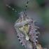 Uoginė skydblakė - Dolycoris baccarum   Fotografijos autorius : Romas Ferenca   © Macrogamta.lt   Šis tinklapis priklauso bendruomenei kuri domisi makro fotografija ir fotografuoja gyvąjį makro pasaulį.