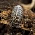 Vėdarėlis - Armadillidium pulchelum | Fotografijos autorius : Kazimieras Martinaitis | © Macrogamta.lt | Šis tinklapis priklauso bendruomenei kuri domisi makro fotografija ir fotografuoja gyvąjį makro pasaulį.
