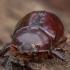 Vabalas raganosis - Oryctes nasicornis ♀ | Fotografijos autorius : Žilvinas Pūtys | © Macrogamta.lt | Šis tinklapis priklauso bendruomenei kuri domisi makro fotografija ir fotografuoja gyvąjį makro pasaulį.