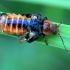 Raudonkojis minkštavabalis - Cantharis rustica | Fotografijos autorius : Ramunė Vakarė | © Macrogamta.lt | Šis tinklapis priklauso bendruomenei kuri domisi makro fotografija ir fotografuoja gyvąjį makro pasaulį.