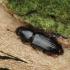 Žievėvabalis - Rhizophagus sp. | Fotografijos autorius : Vidas Brazauskas | © Macrogamta.lt | Šis tinklapis priklauso bendruomenei kuri domisi makro fotografija ir fotografuoja gyvąjį makro pasaulį.
