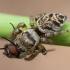 Vaivorykštinis musėgaudis - Evarcha arcuata ♀ | Fotografijos autorius : Žilvinas Pūtys | © Macrogamta.lt | Šis tinklapis priklauso bendruomenei kuri domisi makro fotografija ir fotografuoja gyvąjį makro pasaulį.