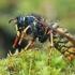 Saksononė vapsva - Dolichovespula saxonica | Fotografijos autorius : Gintautas Steiblys | © Macrogamta.lt | Šis tinklapis priklauso bendruomenei kuri domisi makro fotografija ir fotografuoja gyvąjį makro pasaulį.